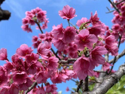 沖縄の桜🌸